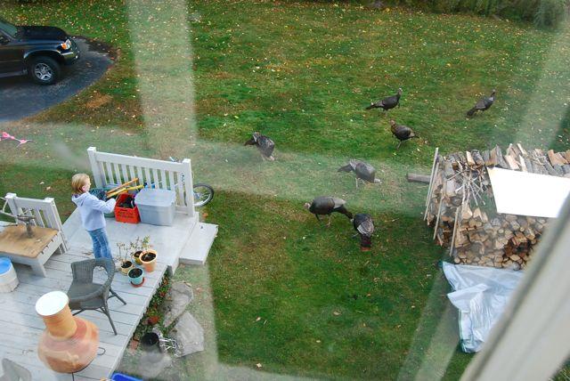 feeding the turkeys