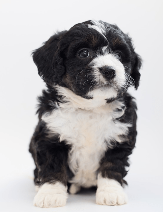 The Ultimate Guide To The Mini Bernedoodle