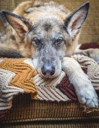 Best Dog Bed For Your German Shepherd: 10 Step Choosing Guide