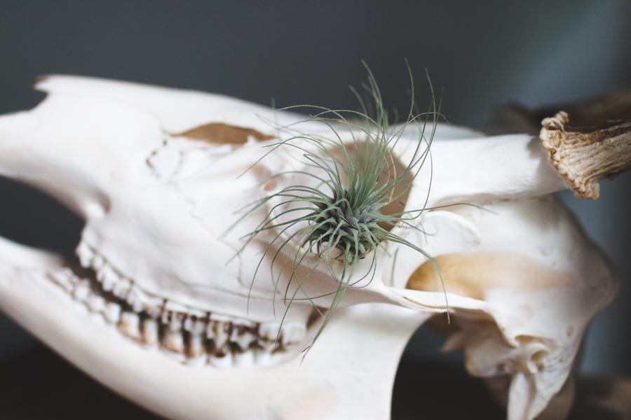 deer skull, air plant display