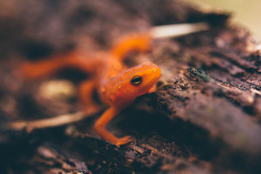 eastern spotted newt, eft