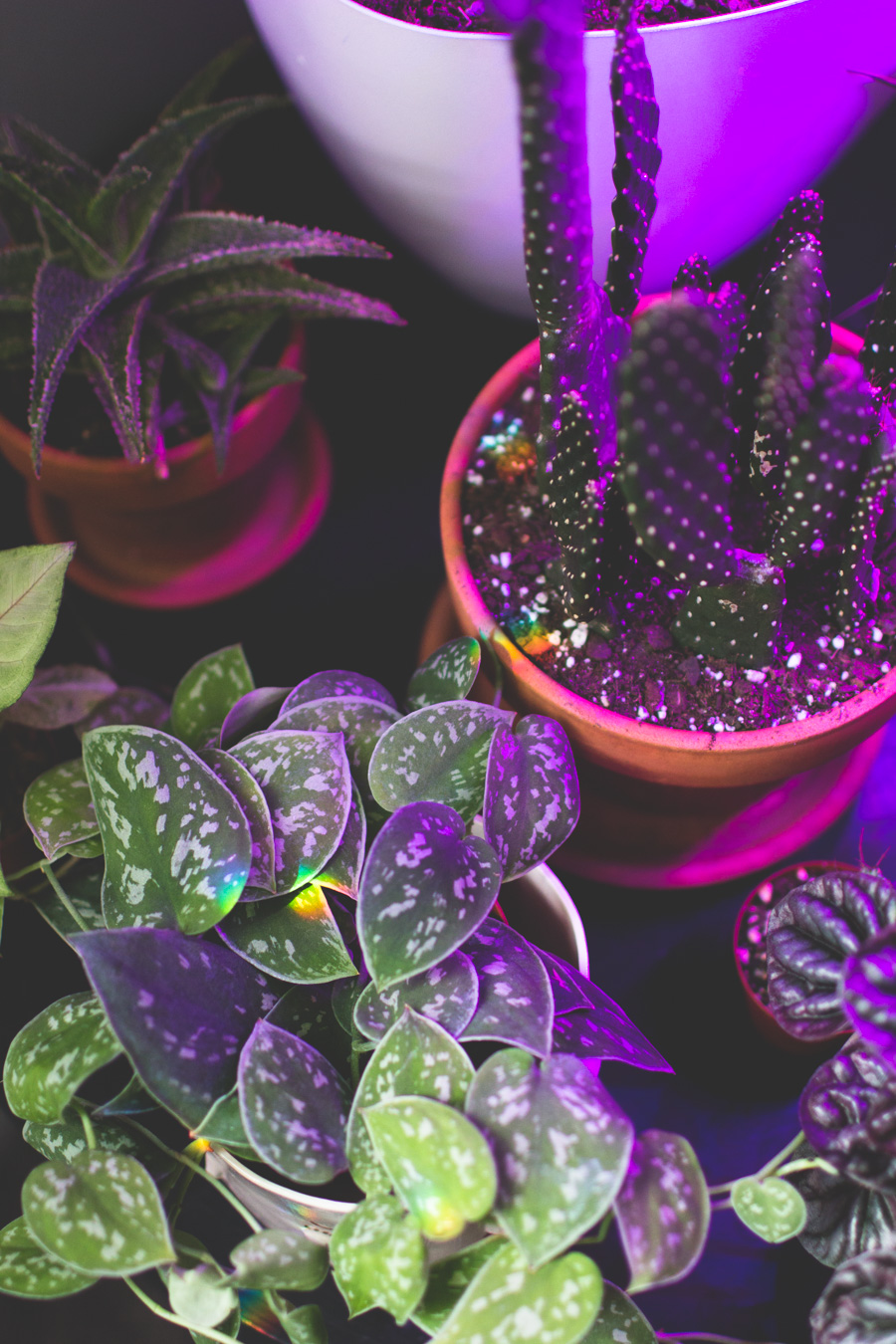 rainbow, grow lamps, succulents, grow light