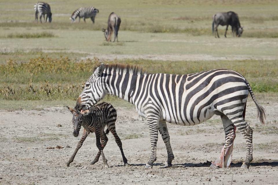 The baby zebra -- Our top 10 favorite safari honeymoon moments