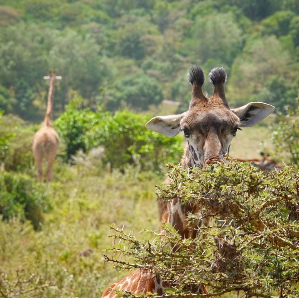 Grazing giraffes -- Our top 10 favorite safari honeymoon moments