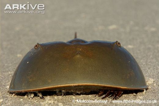 Horseshoe crab. Photo courtesy of Malcolm Schuyl/ARKive. Source.