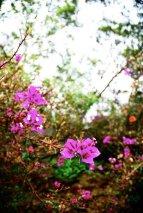 Upcountry bougainvillea