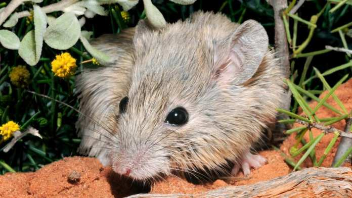 Gould's mouse