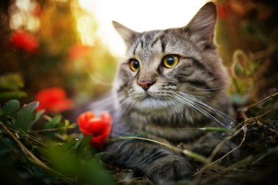 A striped cat sits outside in a field of flowers.