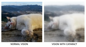 A photo of a cat is blurred to show effects of cataracts on vision.