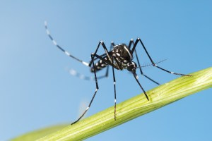 Aedes Asian tiger mosquito