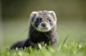 A dark gray ferret sits in grass on a sunny day.