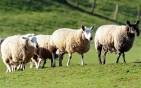 sheep_2173052b