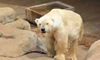 Wang the polar bear