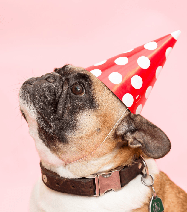a french bulldog with a party cap