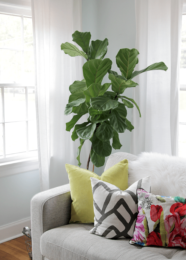 living room with fiddle leaf fig tree