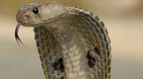 The second 'Goals gone wild' failure mode: the cobra effect/Goodhart's law