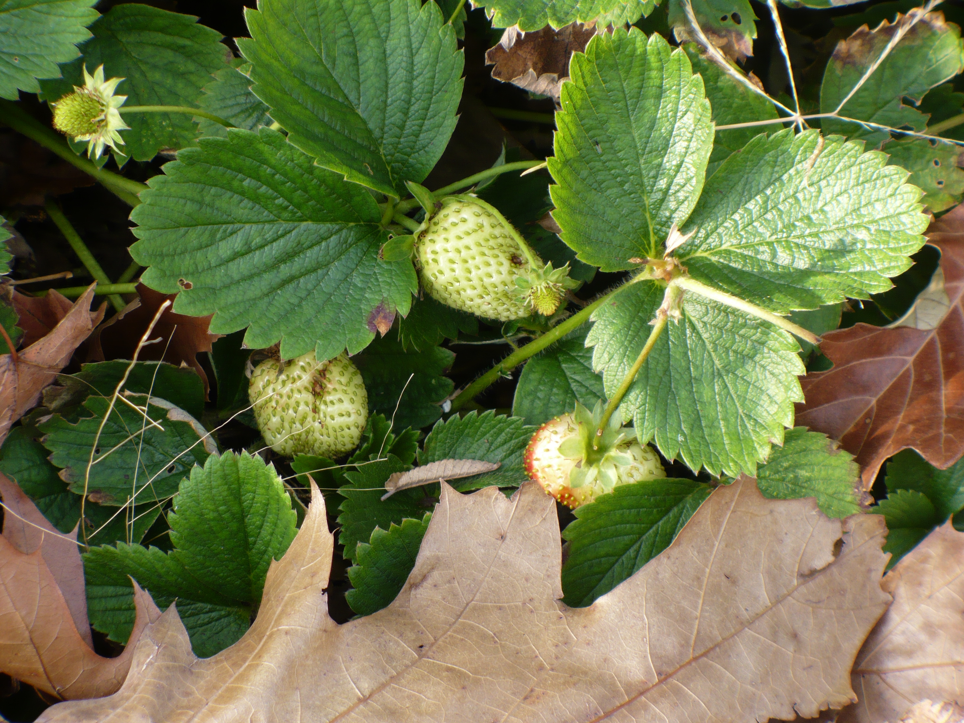 Strawberries with leaf