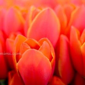 and yesss tuliips!