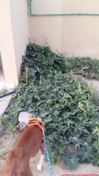 cucumber/gourd plant