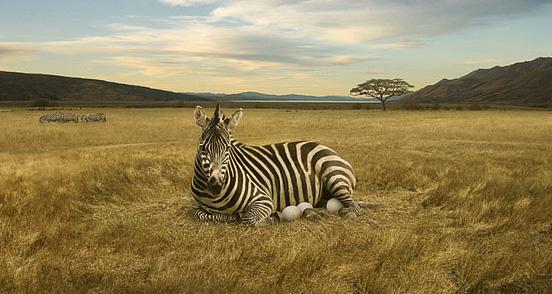 Eggs's Zebra