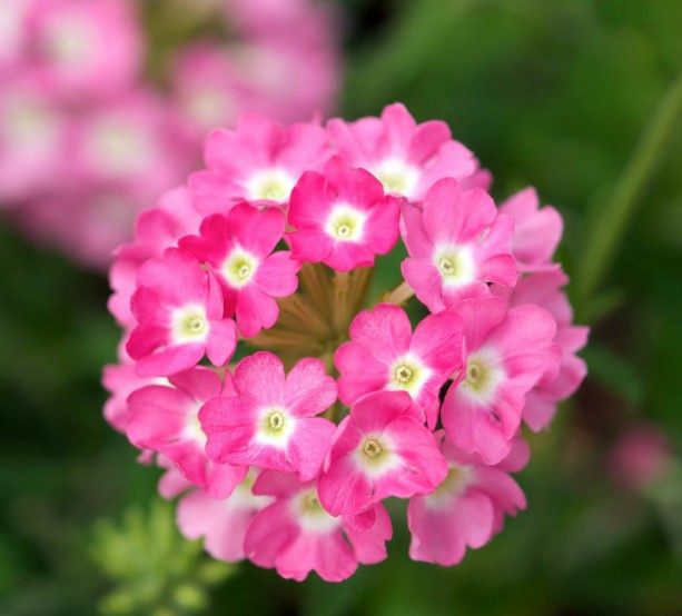 Top 46 Beautiful Pink Flowers for Your Garden