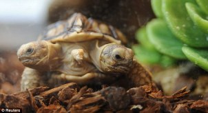 two-headed turtle 1