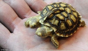 two-headed turtle 3