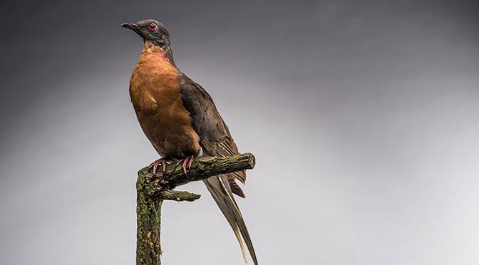 RAMM-passenger-pigeon