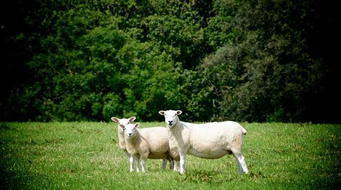 Eversfield Organic Lamb