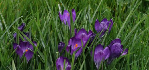 Crocuses in bloom in Plymouth. Courtesy of John Allen