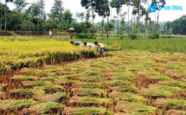Busy farmers to cut rice