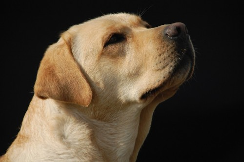 Diabetes Sniffing Dogs