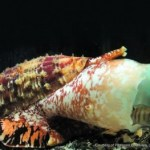 Marine Cone Snail for Diabetes Treatment