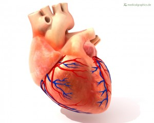 Human heart with coronary arteries
