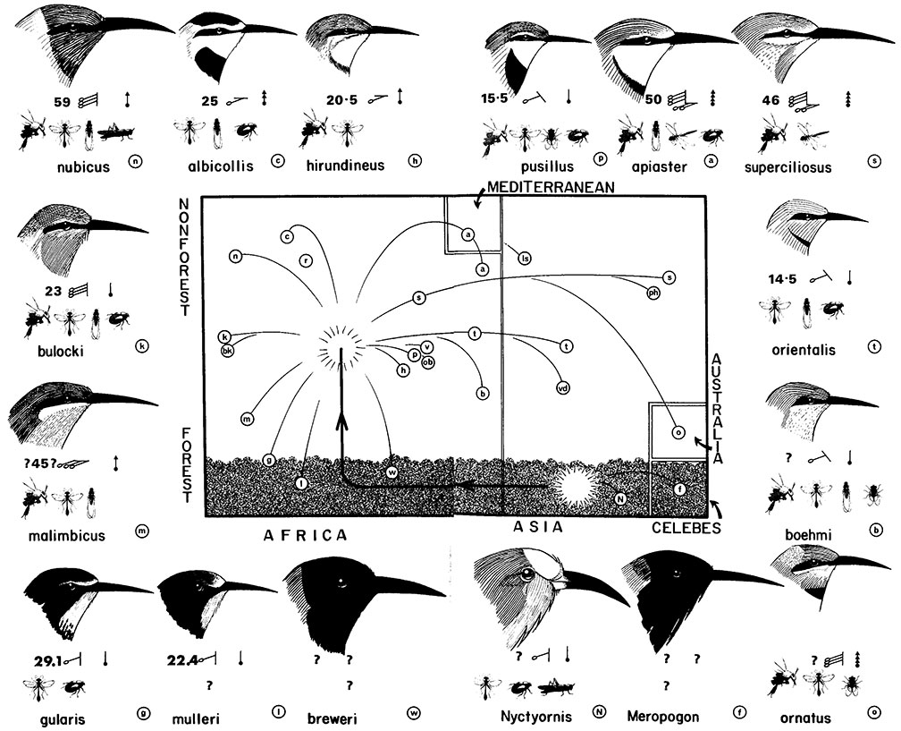 DIAGRAM :: A Scheme for the Evolution of the Meropidae