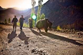 Walking the yak.