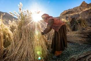 Harvesting the barley crop at Lamayuru.