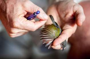 Collin Jackson of A Rocha inspects this Camaroptera's feathers for wear and age.