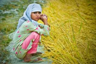 A young girl sit watching the rice harvest.