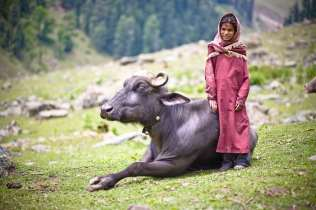 A Bakarwal Gujjar child and her water buffalo.