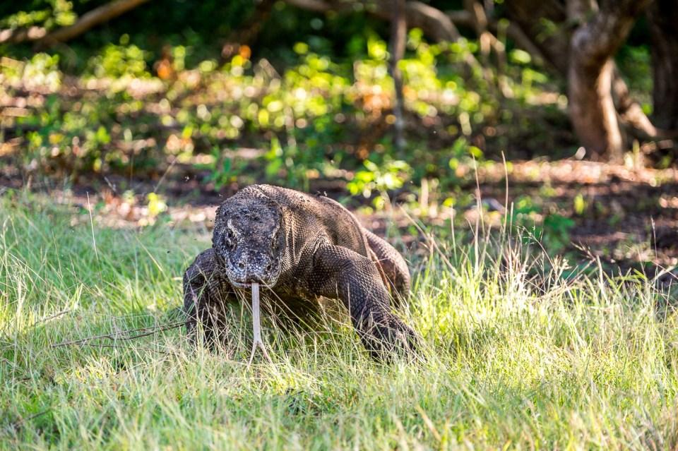 The Komodo Drangon