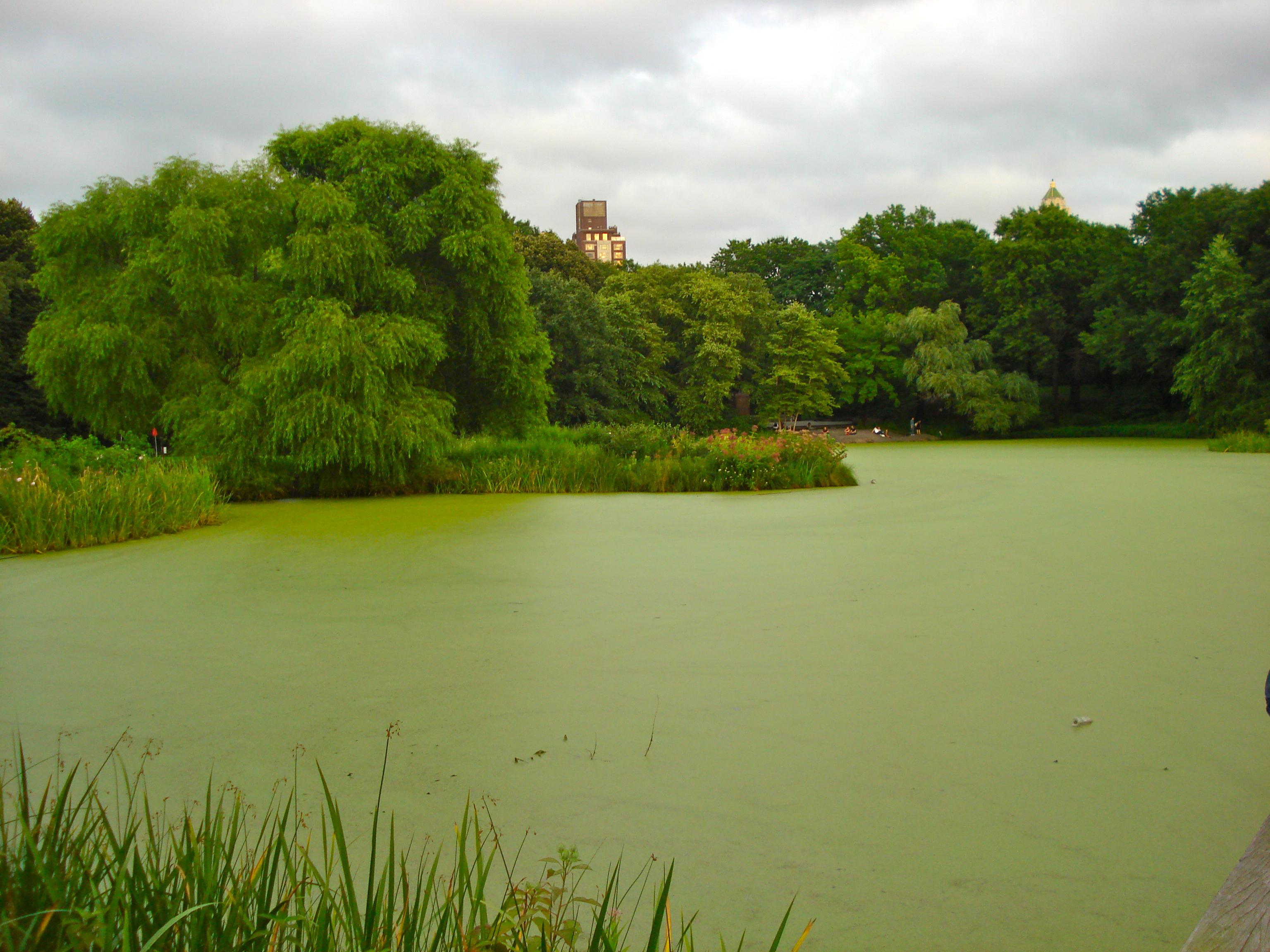 Algae-covered Turtle Pond.