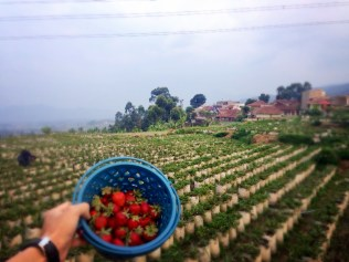 Our hand-picked super fresh strawberries!