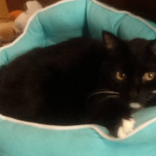 Tuxedo black and white cat in aqua blue pet bed