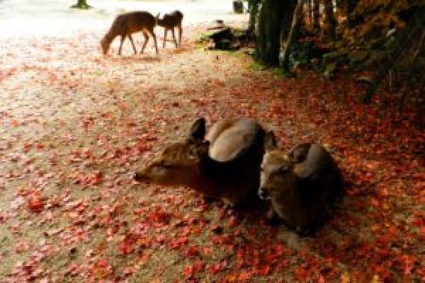 宮島・紅葉谷公園の紅葉の見所や見ごろはいつ?