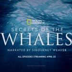 Sperm Whale Calf Nursing in New Clip From The Disney+ Series 'Secrets of the Whales'