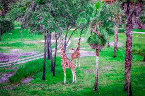 Giraffes on the savannah - Animal Kingdom Lodge