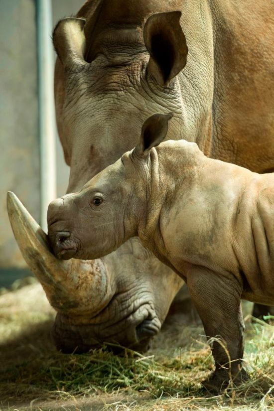New Baby Girl Rhino Born at Disney's Animal Kingdom
