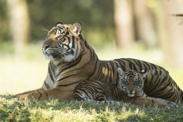 conservation, tigers