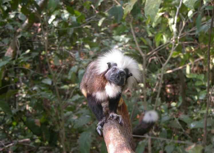 conservation, tamarins